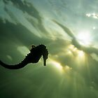 Seahorse (Hippocampus sp.), silhouette, underwater view by Sami Sarkis