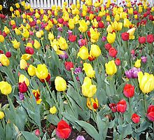 Red and Yellow Tulips in Spring by Carol Peck