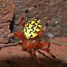 Marbled Orb Weaver in Attack Mode by Bine