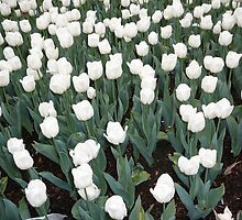 White Tulips by Carol Peck