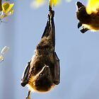Grey-headed Flying-fox by Tony Steinberg