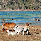 Mareeba wetlands moo cows by Jenny Dean