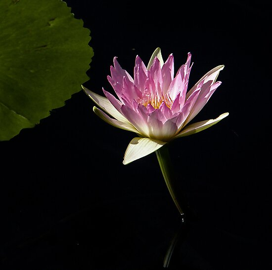 Waterlily by cclaude