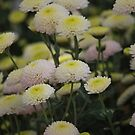 Cheery Crysanthemum's by Lozzar Flowers & Art