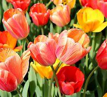 Tulip Crossing by Deborah Crew-Johnson