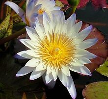 Water Lily by flyingartgarden