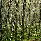 Birch tree forest by Esther  Moliné