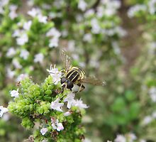 Hover fly on herbs by bobcomet