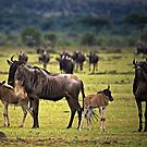 Wildebeest with Calves by Henry Jager