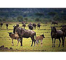 Wildebeest with Calves Photographic Print