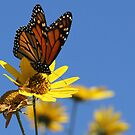 Monarch, and Clear Blue Sky by NatureGreeting Cards ccwri