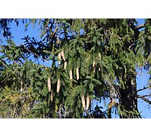 Pinecone and Fir tree Photographic Print