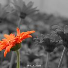Different  - A Selective Colour Daisy by Betty Northcutt