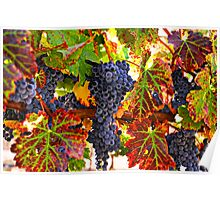 Grapes on vine in vineyards Poster
