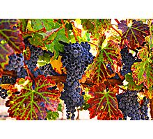 Grapes on vine in vineyards Photographic Print