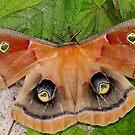 Mothra by Mundy Hackett