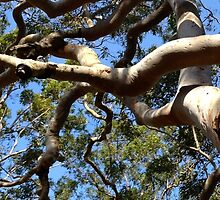 River gum at Oatley by Aakheperure