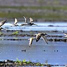Shorebirds on the Wing by Chuck Gardner