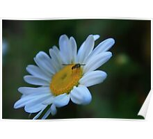 Bug on Daisy Poster