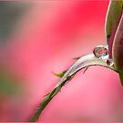 Rose Drop, Mission Beach, FNQ by Susan Kelly