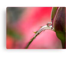 Rose Drop, Mission Beach, FNQ Canvas Print