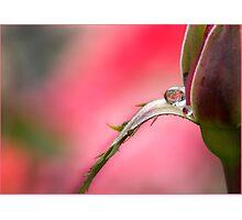 Rose Drop, Mission Beach, FNQ Photographic Print
