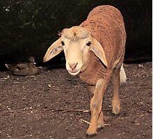 Nor Sheep, Nor Goat...Hmm..Maybe I'm a Shoat or a Geep. Peel Zoo, Pinjarra, Western Australia Photographic Print
