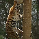 Tiger Air by jensw61
