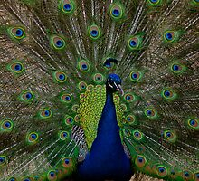 THE PEACOCK by Gerard Rotse