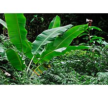 Banana tree leaves in tropical garden, close-up, Big Island, Hawaii Islands, United States Photographic Print