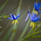 Nodding Blue Lily by garts