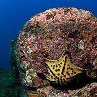 Chocolate Chip Star (Nidorellia armata), underwater view, Ecuador, Galapagos Archipelago, Espanola Island by Sami Sarkis