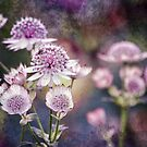 Textured Astrantia by Astrid Ewing Photography