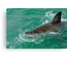 Great White Shark (Carcharodon carcharias) breaking waters surface, Gansbaii, Dyer Island, South Africa Canvas Print