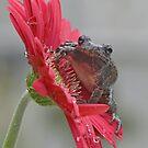 Gray treefrog VI by Mundy Hackett