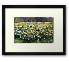 More and More Daffodils Framed Print