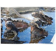 Group of Marine Iguana (Amblyrhynchus cristatus) bathing in the water, Ecuador, Galapagos Archipelago, Isabela Island. Poster