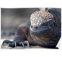 Marine Iguana (Amblyrhynchus cristatus) on rock, close-up - Ecuador, Galapagos Archipelago, Isabela Island. Poster