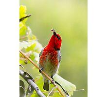 male scarlet honeyeater - gx Photographic Print