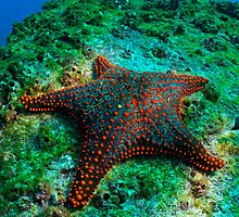 Panamic Cushion Star (Pentaceraster cumingi) on rock, underwater view, Ecuador, Galapagos Archipelago, Espanola Island by Sami Sarkis