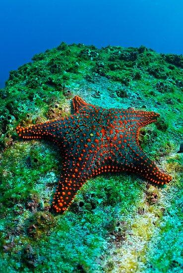 Panamic Cushion Star (Pentaceraster cumingi) on rock, underwater view, Ecuador, Galapagos Archipelago, Espanola Island by Sami Sarkis