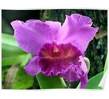 Purple Cattleya Poster