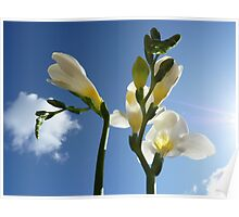 """Beam of Light""  The Flower of a White Freesia Poster"