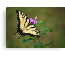 SWALLOWTAIL ON VINCA Canvas Print