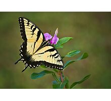 SWALLOWTAIL ON VINCA Photographic Print