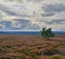 Yorkshire: A Lone Tree in a Sea of Heather by Rob Parsons