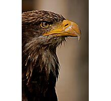 Juvenile Bald Eagle Portrait v1 Photographic Print