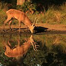 Deer reflection by Martin Griffett