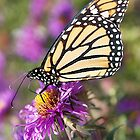 Monarch Butterfly, Purple Flower by goshawn