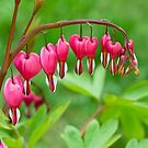 Bleeding Heart flower (Dicentra spectabilis) by Ivo Velinov